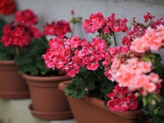 Цветы для кухни фото и название
