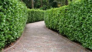 Живая изгородь: зеленые заборы в ландшафтном дизайне