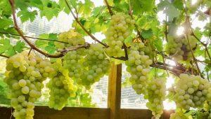 Теплицы для винограда: особенности конструкций