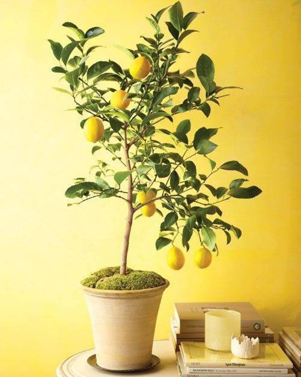 Лимон уход в домашних условиях. Особенности размножения