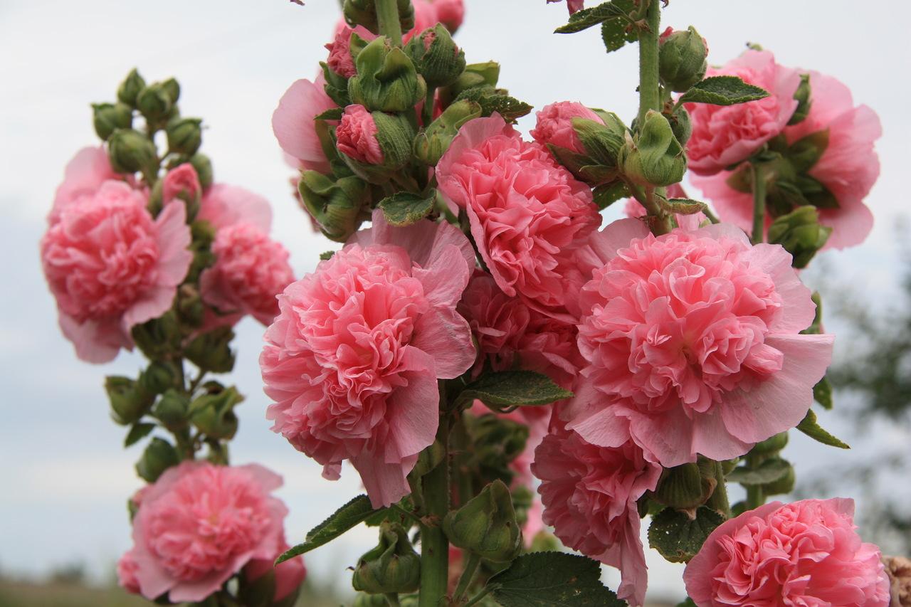 Шток роза: выращивание из семян, когда сажать? - Магия 4