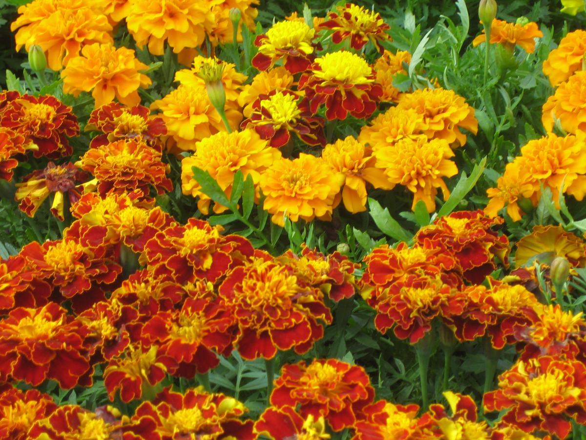 Высокорослые однолетние цветы фото и название