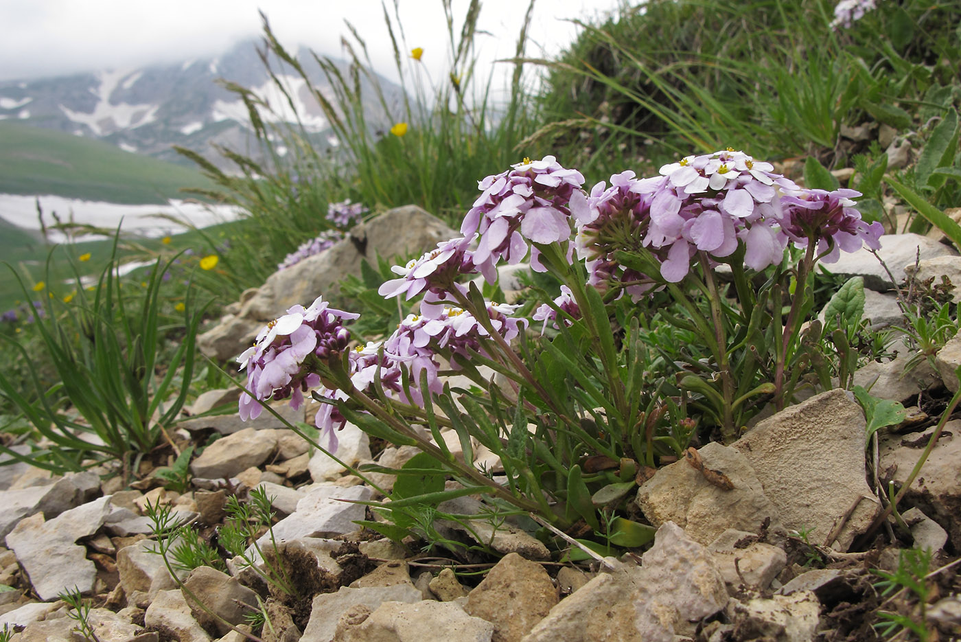 Фото цветка иберис зонтичный