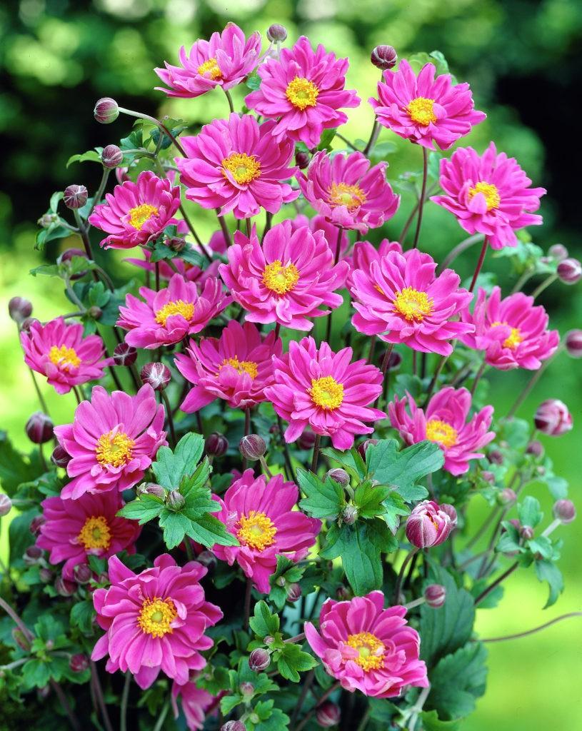 Комнатный цветок, цветущий круглый 47