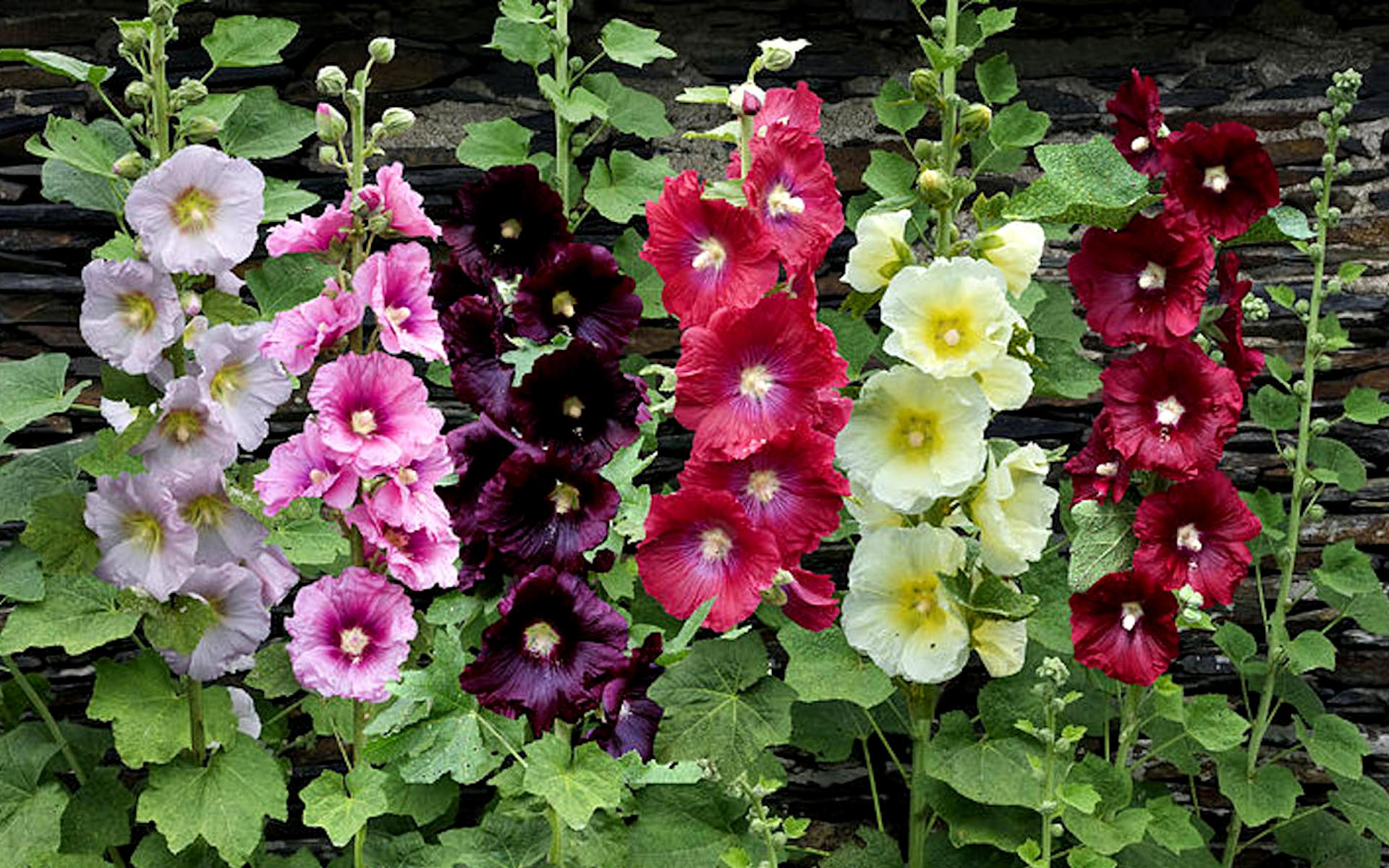 Цветы мальва фото как сажают